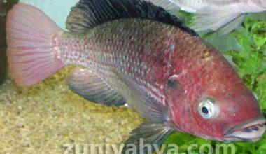 Jenis Pakan Ikan Nila