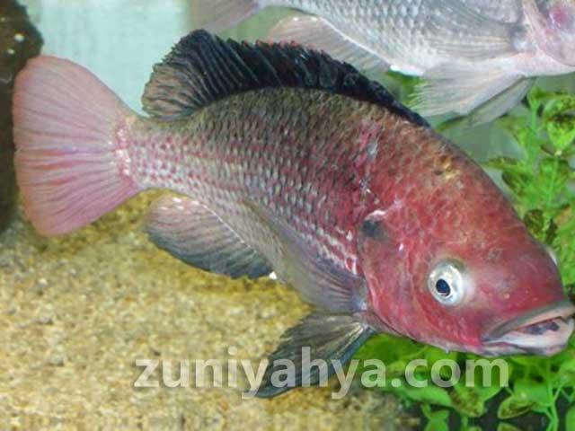 Download 480 Jenis Dan Gambar Ikan Nila HD Terpopuler
