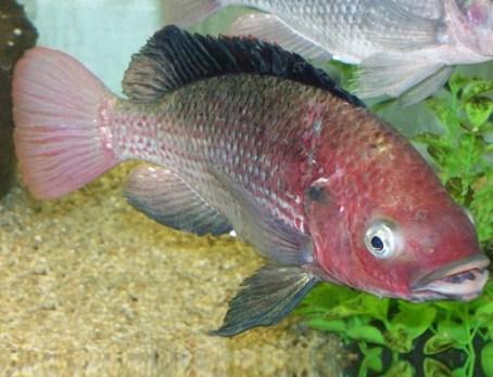 15 Daftar Makanan Ikan Nila Supaya Cepat Besar Terlengkap