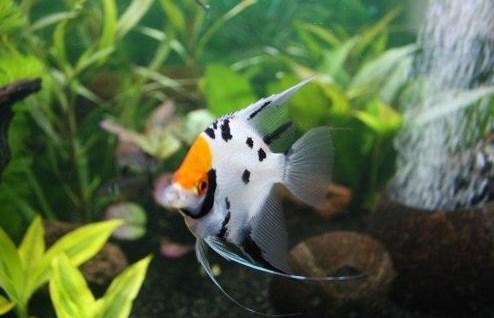 Manfish Koi