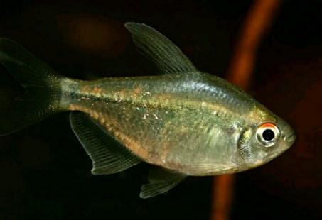 Neon Diamond-Tetra - Ikan Hias di Aquaspace