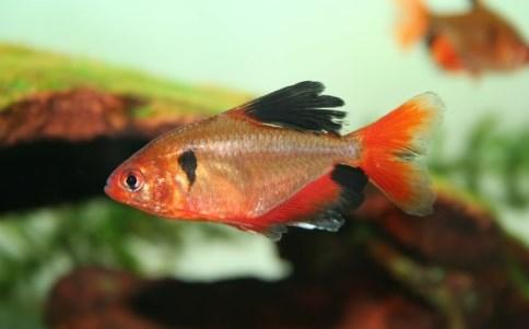 Neon Sarpae-Tetra - Ikan Hias di Aquaspace