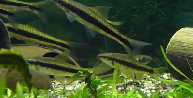 Sae - Ikan Hias di Aquaspace