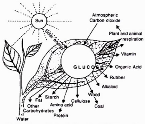 Diagram Proses Fotosintesis