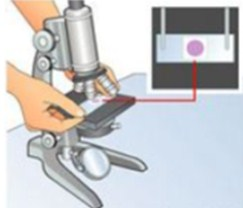 Gambar Cara Menggunakan Mikroskop Cahaya-Persiapkan Preparat