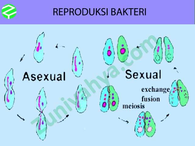 Reproduksi Bakteri