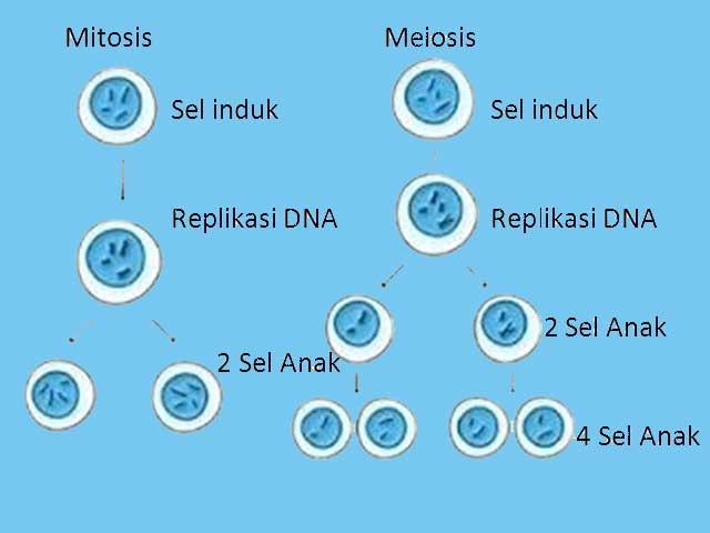 Pengertian Proses Dan Tujuan Pembelahan Mitosis Meiosis
