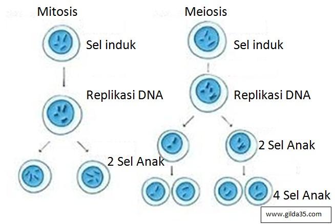 Gambar pembelahan sel secara mitosis dan meiosis