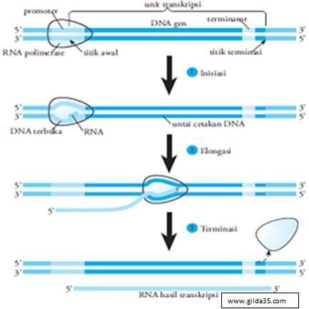 Tahap Sintesis Protein - Transkripsi
