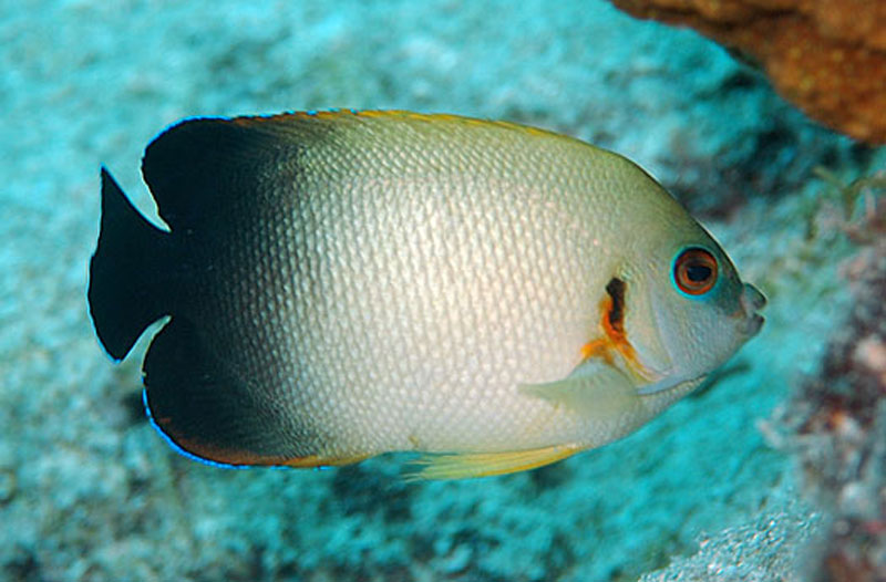 Angelfish Half Black