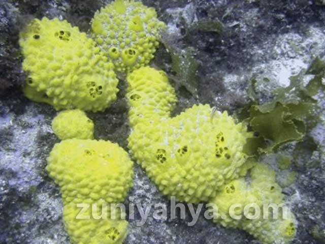 Porifera atau Spons