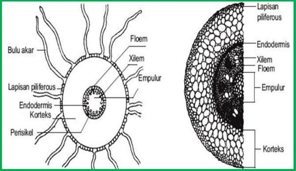 Morfologi Akar Karakteristik Akar Fungsi Akar Dan Sistem Akar Terlengkap