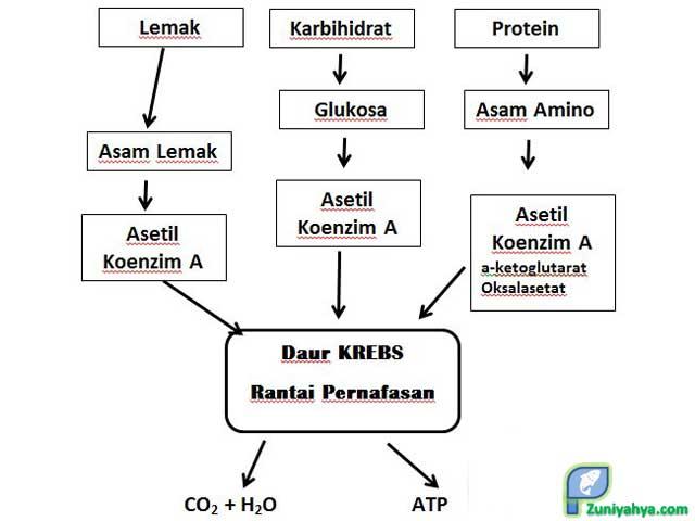 Metabolisme Protein, Lemak, dan Karbohidrat