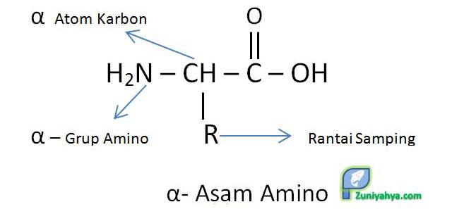 Struktur Asam Amino