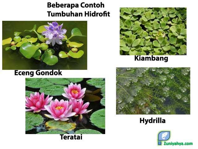 Beberapa Contoh Tumbuhan Hidrofit