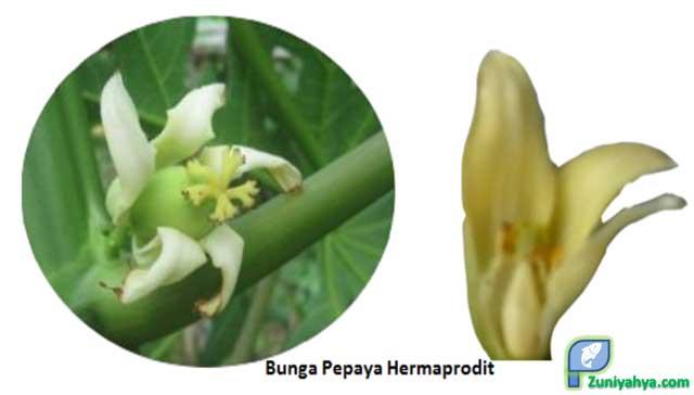 Bunga Pepaya Hermaprodit