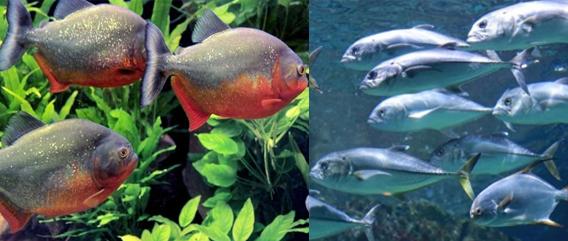 Pisces atau Ikan