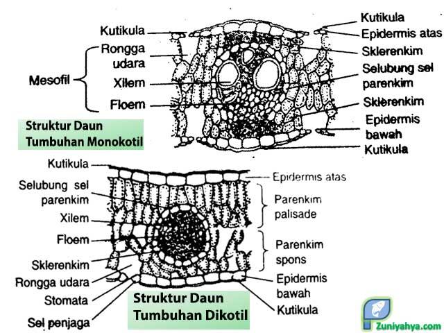 Perbedaan Struktur Daun Monokotil dan Dikotil