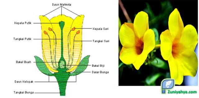 Struktur Bunga Alamanda