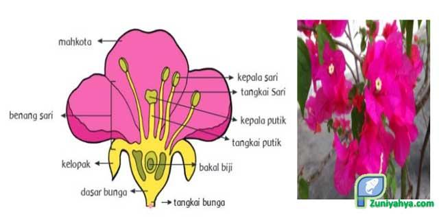 Struktur Bunga Bougenvil