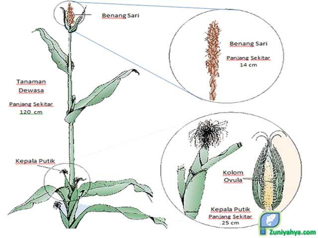 Struktur Bunga Jagung