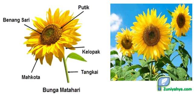 Struktur Bunga Matahari
