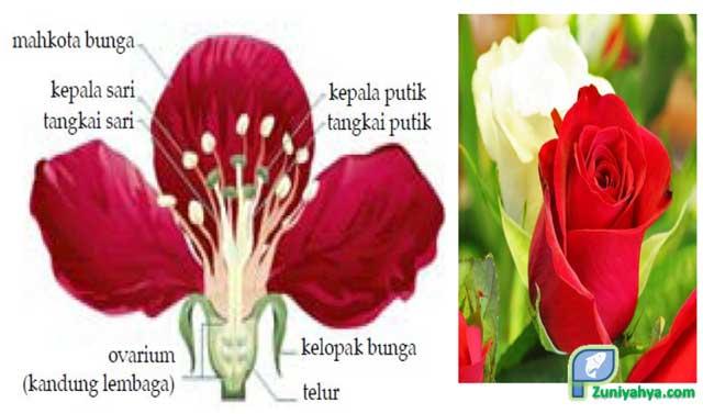 Perbedaan Bunga Sempurna Dan Bunga Tidak Sempurna Beserta Gambar