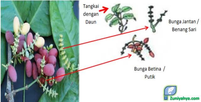 Struktur Bunga Melinjo