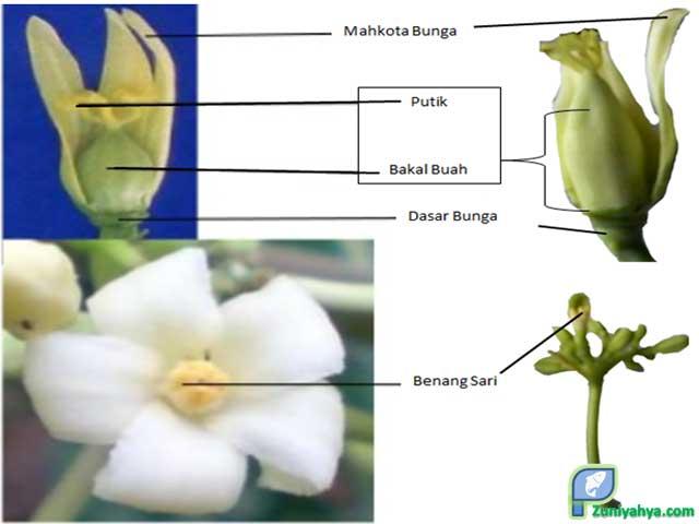 Struktur Bunga Pepaya