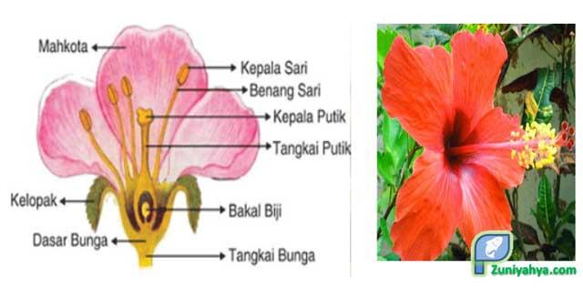Struktur Bunga Sepatu