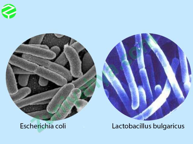 Escherichia coli dan Lactobacillus bulgaricus
