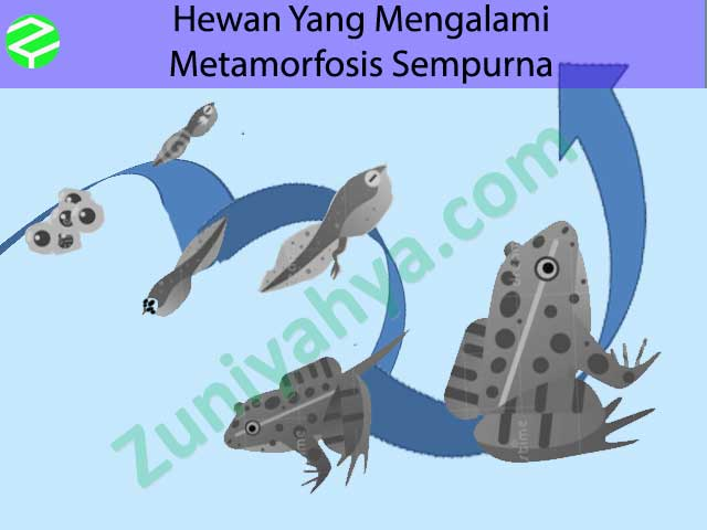 21+ Hewan yang mengalami metamorfosis sempurna mempunyai bentuk tubuh yang terupdate