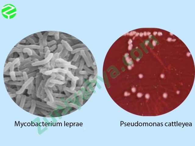 Mycobacterium leprae dan  Pseudomonas cattleyea
