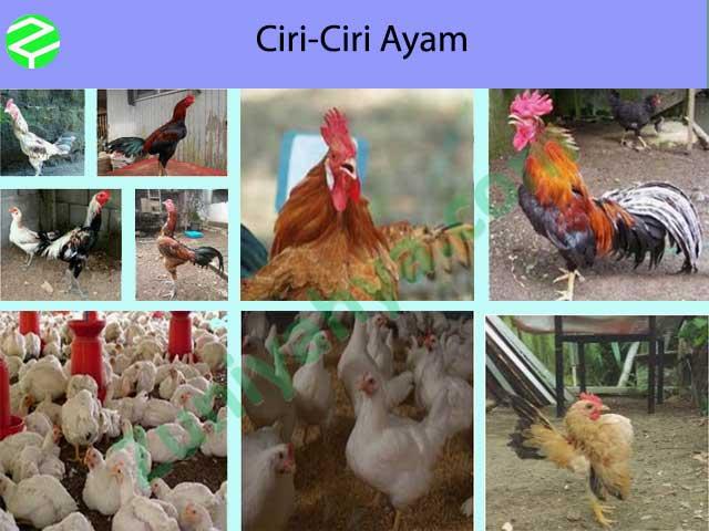 Ciri-Ciri Ayam