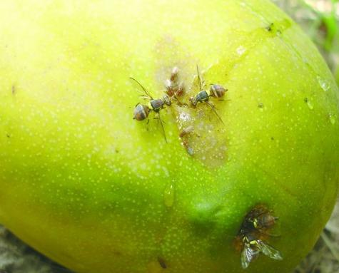 Hama Lalat Buah