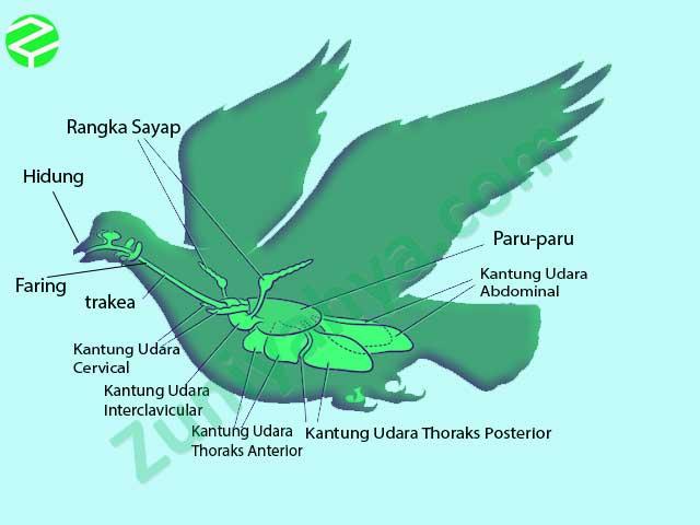 Paru-Paru Pada Aves
