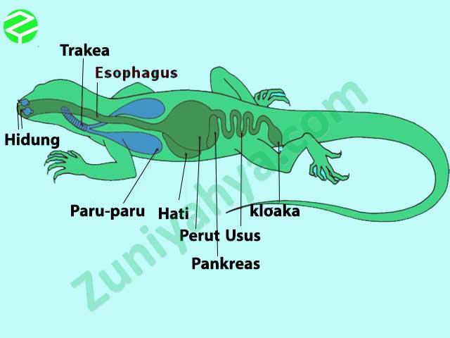 Paru-Paru Pada Reptil