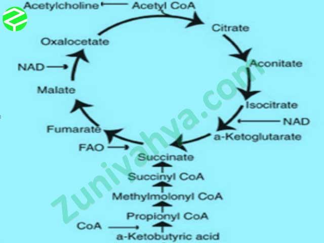 Siklus Krebs Sederhana