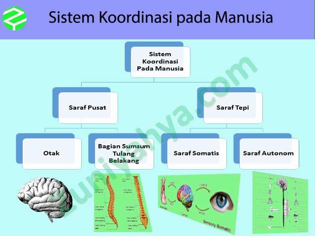 Sistem Koordinasi pada Manusia