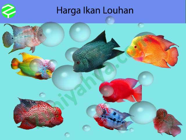 Harga Ikan Louhan