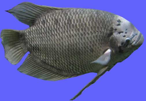 Ikan Gurame Batu