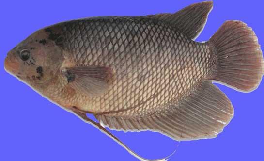 Ikan Gurame Blaster