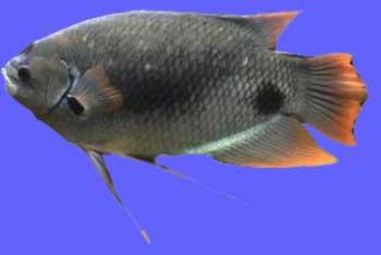 Ikan Gurame Blue Safir