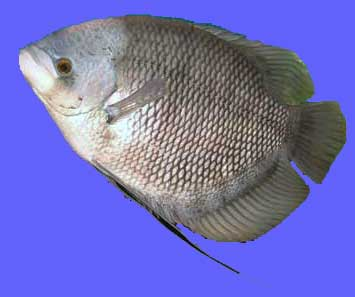 Ikan Gurame Jepun