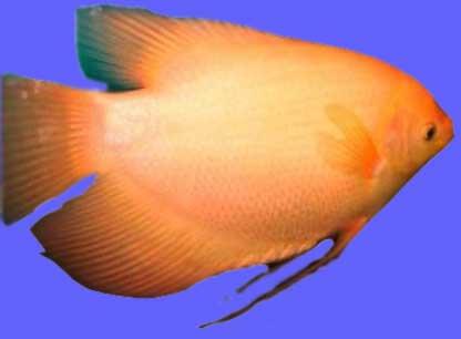 Ikan Gurame Padang