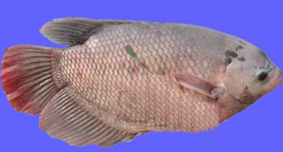 Ikan Gurame Paris