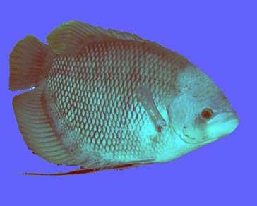 Ikan Gurame Porselen