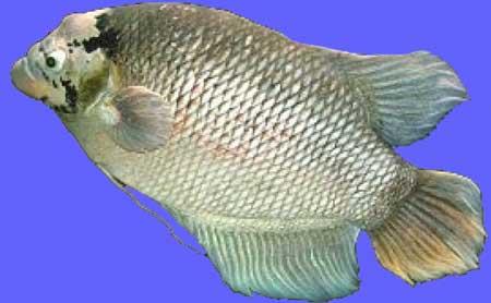 Ikan Gurame Soang