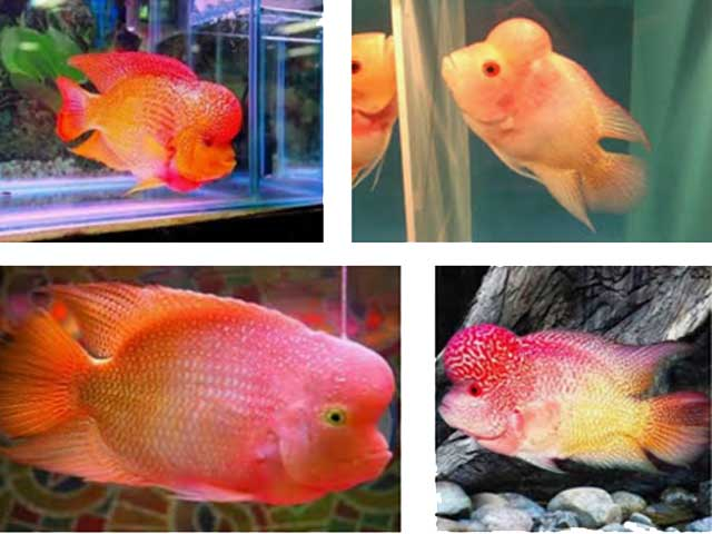 Ikan Louhan Golden Base