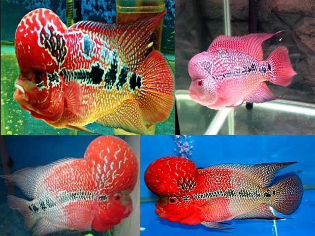 Ikan Louhan Super Red Dragon